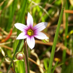 picture of Sisyrinchium rosulatum, image of Sisyrinchium rosulatum, photograph of Sisyrinchium rosulatum