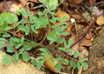 picture of Thalictrum macrostylum, image of Thalictrum macrostylum, photograph of Thalictrum macrostylum