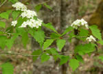 picture of Crataegus schuettei, image of Crataegus schuettei, photograph of Crataegus flabellata