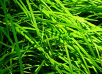 picture of Carex prasina, image of Carex prasina, photograph of Carex prasina