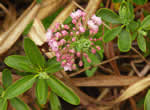 picture of Kalmia angustifolia, image of Kalmia angustifolia, photograph of -