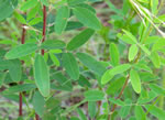 picture of Lespedeza virginica, image of Lespedeza virginica, photograph of Lespedeza virginica