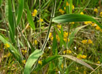 picture of Dichanthelium scoparium, image of Dichanthelium scoparium, photograph of Panicum scoparium