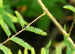 picture of Mimosa microphylla, image of Mimosa microphylla, photograph of Schrankia microphylla