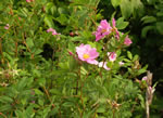 picture of Rosa palustris, image of Rosa palustris, photograph of Rosa palustris