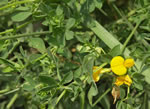 picture of Lotus corniculatus, image of Lotus corniculatus, photograph of Lotus corniculatus