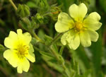 picture of Potentilla recta, image of Potentilla recta, photograph of Potentilla recta