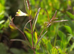 picture of Melampyrum lineare +, image of Melampyrum lineare +, photograph of Melampyrum lineare