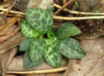 picture of Goodyera repens, image of Goodyera repens, photograph of Goodyera repens var. ophioides