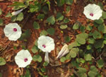 picture of Ipomoea pandurata, image of Ipomoea pandurata, photograph of Ipomoea pandurata