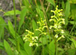picture of Platanthera clavellata, image of Platanthera clavellata, photograph of Habenaria clavellata