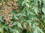 picture of Nandina domestica, image of Nandina domestica, photograph of Nandina domestica