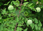 picture of Smilax herbacea, image of Smilax herbacea, photograph of Smilax herbacea var. herbacea