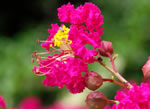 picture of Lagerstroemia indica, image of Lagerstroemia indica, photograph of -