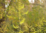 picture of Asparagus officinalis, image of Asparagus officinalis, photograph of Asparagus officinalis