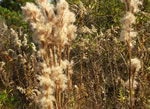 picture of Andropogon tenuispatheus, image of Andropogon glomeratus var. pumilus, photograph of Andropogon virginicus
