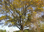 picture of Quercus phellos, image of Quercus phellos, photograph of Quercus phellos