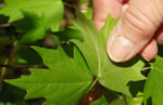 picture of Acer leucoderme, image of Acer leucoderme, photograph of Acer saccharum ssp. leucoderme