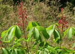 picture of Aesculus pavia var. pavia, image of Aesculus pavia var. pavia, photograph of Aesculus pavia