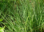picture of Schizachyrium scoparium var. scoparium, image of Schizachyrium scoparium var. scoparium, photograph of Andropogon scoparius