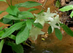picture of Rhododendron eastmanii, image of Rhododendron eastmanii, photograph of Rhododendron alabamense