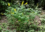 picture of Thermopsis fraxinifolia, image of Thermopsis fraxinifolia, photograph of Thermopsis fraxinifolia