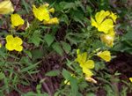 picture of Oenothera tetragona +, image of Oenothera fruticosa +, photograph of Oenothera tetragona
