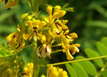 picture of Senna hebecarpa, image of Senna hebecarpa, photograph of Cassia hebecarpa