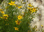 picture of Coreopsis verticillata, image of Coreopsis verticillata, photograph of Coreopsis verticillata