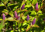 picture of Gentiana clausa, image of Gentiana clausa, photograph of Gentiana clausa