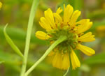 picture of Helenium autumnale, image of Helenium autumnale var. autumnale, photograph of Helenium autumnale