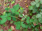 picture of Rubus pascuus, image of Rubus pascuus, photograph of -