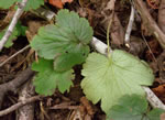 picture of Geum lobatum, image of Waldsteinia lobata, photograph of -