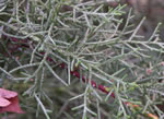picture of -, image of Cupressus arizonica, photograph of -