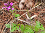 picture of Glandularia canadensis, image of Glandularia canadensis, photograph of Verbena canadensis