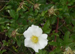 picture of Rosa laevigata, image of Rosa laevigata, photograph of Rosa laevigata
