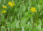 picture of Packera tomentosa, image of Packera tomentosa, photograph of Senecio tomentosus