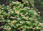 picture of Lonicera japonica, image of Lonicera japonica, photograph of Lonicera japonica