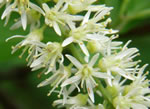 picture of Itea virginica, image of Itea virginica, photograph of Itea virginica