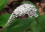picture of Lysimachia clethroides, image of Lysimachia clethroides, photograph of -