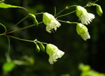 picture of Silene stellata, image of Silene stellata, photograph of Silene stellata