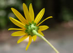 picture of Helianthus atrorubens, image of Helianthus atrorubens, photograph of Helianthus atrorubens
