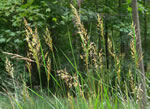 picture of Sorghastrum nutans, image of Sorghastrum nutans, photograph of Sorghastrum nutans