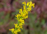 picture of Solidago stricta, image of Solidago stricta, photograph of Solidago stricta