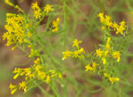 picture of Euthamia caroliniana, image of Euthamia caroliniana, photograph of Solidago microcephala