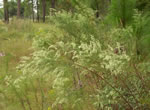 picture of Eupatorium compositifolium, image of Eupatorium compositifolium, photograph of Eupatorium compositifolium