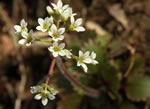 picture of Micranthes virginiensis, image of Saxifraga virginiensis var. virginiensis, photograph of Saxifraga virginiensis