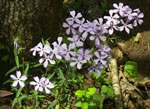 picture of Phlox divaricata, image of Phlox divaricata +, photograph of Phlox divaricata