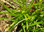 picture of Carex umbellata, image of Carex umbellata, photograph of Carex umbellata