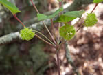 picture of Smilax biltmoreana, image of Smilax biltmoreana, photograph of Smilax ecirrhata var. biltmoreana